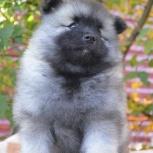 Породные щенки вольфшпица (кеесхонда), Ижевск